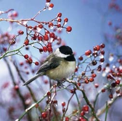 Chickadee on Berries